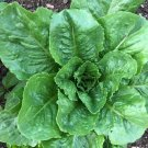 KoloKolo Store Parris Island Cos Romaine Lettuce SNON-GMO Seeds Caesar Salad 1000 Seeds