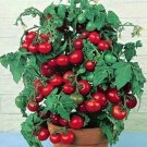 """31 seeds TINY TIM DWARF PATIO TOMATO Seeds 16""""Plant Hanging Baskets Containers/Garden"""