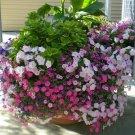 2001 seeds DWARF PETUNIA MIX Flower Seeds Garden/Containers Hanging Baskets Window Box