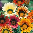 "101 seeds GAZANIA SPLENDENS MIX Seeds 8""Groundcover Red Yellow Orange White Pink EASY"