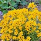 100 seeds SWAMP SUNFLOWER Seeds Clumping Perennial Native Wildflower Salt Tolerant