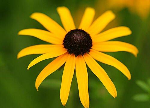 2001 seeds BLACK EYED SUSAN Flower Seeds American Native Wildflower Butterflies Bees