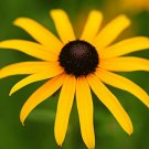 2001 seeds BLACK EYED SUSAN Flower Seeds American Native Wildflower Butterflies Bees