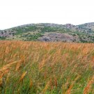 1 OZ=10,000 seeds INDIAN GRASS Seeds Native Prairie Clumping Ornamental Perennial