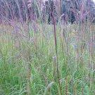 1 OZ=10,001 seeds BIG BLUESTEM Seeds American Native Prairie Grass Clumping Ornamental