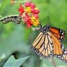 100 seeds BLOOD FLOWER Seeds Tropical Scarlet Milkweed Wildflower Monarch Butterflies