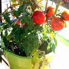 "26 seeds PATIO BUSH TOMATO Seeds 5 oz Fruits 24""Plant Garden Hanging Baskets Container"