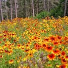 20,000 seeds GLORIOSA DAISY Seeds U.S.Grown Native WILDFLOWER Butterfly Bees Bulk Sale