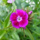 500 seeds PINK SWEET WILLIAM Flower Seeds European Wildflower Perennial Groundcover