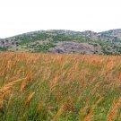 1 OZ=10,001 seeds  INDIAN GRASS Seeds Native Prairie Clumping Ornamental Perennial
