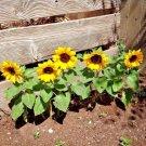 40 seeds SUNSPOT DWARF SUNFLOWER Seeds Native Wildflower Butterflies Garden/Containers