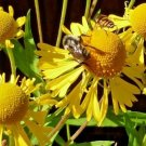 501 seeds AUTUMN SNEEZEWEED Seed American Native Wildflower Butterfly Garden/Container