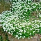 1000 seeds WHITE ROCKCRESS Flower Seed Perennial Groundcover Borders Baskets Drought