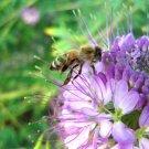 100 seeds ROCKY MOUNTAIN BEE PLANT Seeds American Native Wildflower Butterflies Bee's