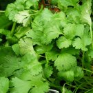 60 seeds CILANTRO Seeds Coriander Non-Gmo Organic Salsa Tex Mex Kitchen Garden Herb