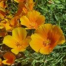 1000 seeds ORANGE CALIFORNIA POPPY Flower Seeds Native Wildflower Garden/Container