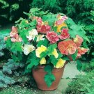ABUTILON Bellevue Mix Seeds Parlor Maple indoor/Outdoor Semi Tropical Houseplant
