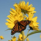 200 seeds MAXIMILIAN (Prairie) SUNFLOWER Seeds American Native Wildflower PERENNIAL