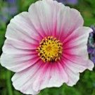 """300 seeds COSMOS """"DAYDREAM"""" Seeds Easy Annual Butterflies Bees Drought Tolerant Kids"""