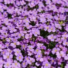 1000 seeds PURPLE ROCKCRESS Flower Seed Perennial Groundcover Borders Basket Drought