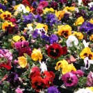 1000 seeds PANSY SWISS GIANTS Seeds Early Blooms 9 Colors Garden/Container Groundcover