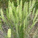 500 seeds PRAIRE JUNE GRASS Seeds American Native Clumping Perennial Ornamental