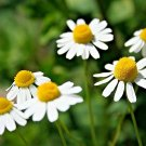 1001 seeds COMMON GERMAN CHAMOMILE Flower Seeds Organic Herbal Tea Garden/Container