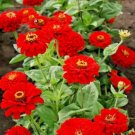 "300 seeds  ZINNIA""CHERRY QUEEN"" Flower Seeds Bright RED 4""-5"" Blooms Summer into Fall"