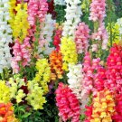 """2000 seeds SNAPDRAGON MAXIMUM MIX Flower Seeds 30-36"""" Tall Garden/Patio Container SALE"""
