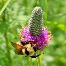 500 seeds PURPLE PRAIRIE CLOVER Flower Seeds Native Wildflower Butterflies Bee's SALE