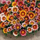 "100 seeds GAZANIA SPLENDENS MIX Seeds 8""Groundcover Red Yellow Orange White Pink EASY"