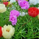500 Seeds USA PORTULACA (ROSE MOSS) DOUBLES MIX Flower Seed Long Bloomer Garden/Container.