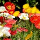 3000 Seeds USA CORN Field POPPY MIX Flower Seeds Salmon-White-Orange-Scarlet-Pink Blooms