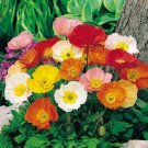 2000 Seeds USA  ICELAND POPPY MIX Seeds Scarlet White Tangerine Gold Apricot Pink Flowers