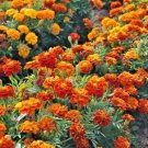 """250 Seeds USA """"Sparky Mix""""DWARF FRENCH MARIGOLD Seeds Blooms Summer Fall Garden/Containers"""