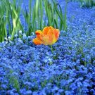 225 Seeds USA CHINESE FORGET ME NOT Seeds Blue Wildflower Blooms Summer-Fall AAS Winner