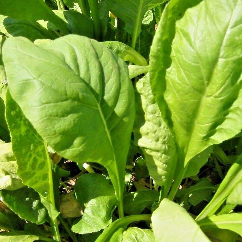 600 Seeds USA TENDERGREEN MUSTARD GREENS Seeds Organic Non-GMO Garden/Patio Containers