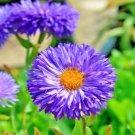 500 Seeds USA BLUE FLEABANE ASPEN DAISY Seeds Drought Tolerant American Native Wildflower