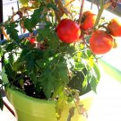 "25 Seeds USA PATIO BUSH TOMATO Seeds 5 oz Fruits 24""Plant Garden Hanging Baskets Container"