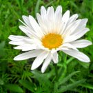 300 Seeds USA CREEPING SNOW DAISY Flower Seeds FAST GROWING GROUDCOVER Butterflies Bees