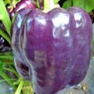 100 Seeds USA PURPLE BEAUTY SWEET BELL PEPPER Seeds Non-Gmo Organic Garden/Patio Container