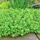 500 Seeds USA COMMON THYME Seeds AKA Garden/German Edible Landscape Garden/Patio Container