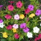 60 Seeds USA FOUR O CLOCK MIX Seeds Fast Growing Blooms Summer Fall Containers/Garden Easy