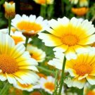 300 Seeds USA GARLAND DAISY Flower Seeds Asian Cuisine/Medicinal/Teas Prairie Wildflower