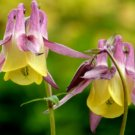 100 Seeds USA ORIENTAL COLUMBINE Seeds Europe Asia Endangered Wildflower Garden/Containers