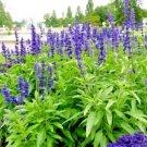 200 Seeds USA BROADLEAF SAGE Seeds Southwest Native Heirloom Herb Purple Flowers Spikes