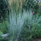 500 Seeds USA  LITTLE BLUESTEM Seeds American Native Prairie Grass Clumping Ornamental