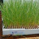 500 Seeds USA WESTERN WHEATGRASS Seeds HEALTHY SUPERFOOD Native Prairie Grass Restoration