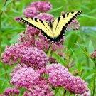 50 Seeds USA SWAMP/ROSE MILKWEED Seeds Monarch Butterflies American Native Wildflower