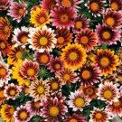 GAZANIA SPLENDENS MIX 25 FRESH FLOWER SEEDS  USA SHIPPING
